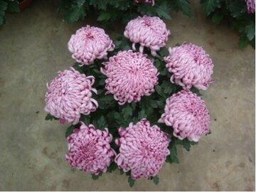 Coup bolchrysant groot 8-9 bloemen