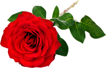 Rode roos apart verpakt