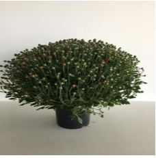 2-Chrysant medium 40cm