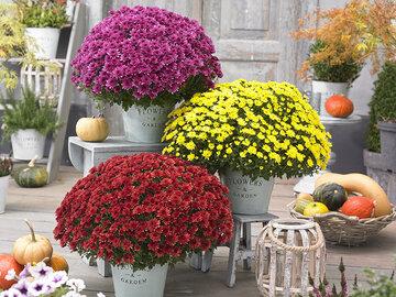 Chrysant large 55cm