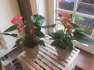 anthurium roze inclusief pot