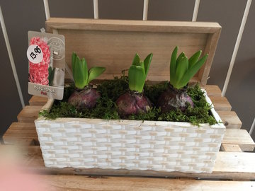 compositie Hyacint in bakje met deksel