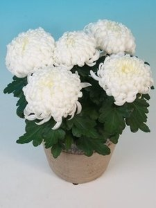 Coup bolchrysant groot 5 bloemen