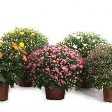 1-Chrysant smal 30-35cm