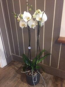 Orchidee Grote Bloem 2 takken - XL