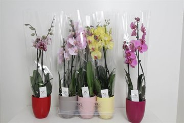 Orchidee 2-tak mix kleuren in pot