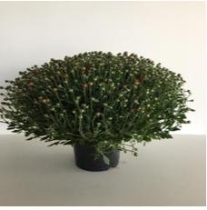 Chrysant medium 40cm