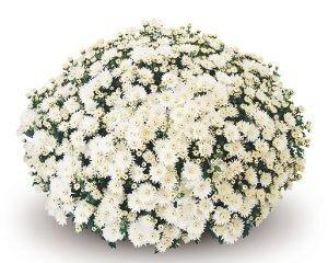 Chrysant XL 80cm