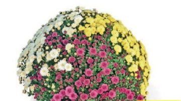 Chrysant Carnaval medium 40cm