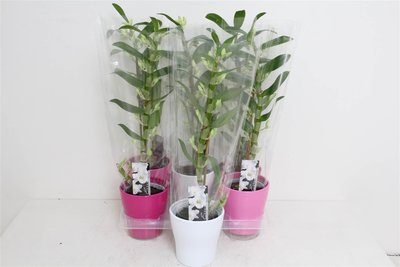 Dendrobium Orchidee wit  in pot